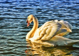 湖面上的白天鹅图片(10张)