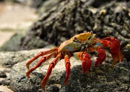 海边的螃蟹图片(11张)