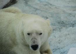 动物园中的北极熊图片(12张)