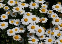 唯美洁白的小雏菊图片(13张)