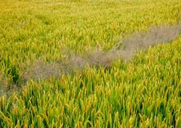 丰收的稻田图片(11张)