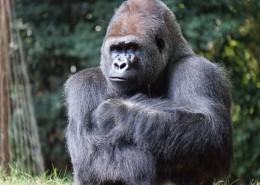 强壮的大猩猩图片(10张)