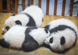 可爱呆萌的大熊猫图片(10张)