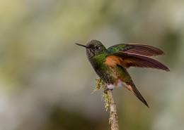 体态轻盈的蜂鸟图片(14张)