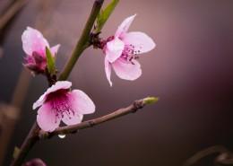 粉色的桃花图片(12张)
