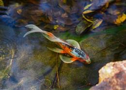 水里的金鱼图片(11张)