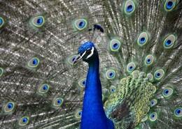 孔雀开屏的图片(10张)