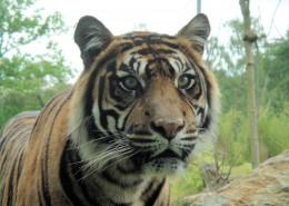 凶猛的野生老虎图片(13张)