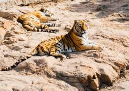 健壮的老虎图片(11张)
