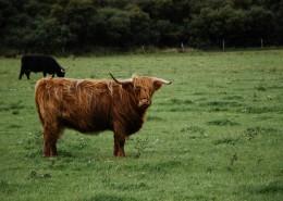高原上的牦牛图片(11张)