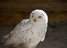 不同种类的猫头鹰图片(10张)