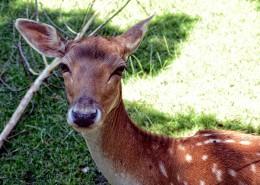 无角的雌性梅花鹿图片(11张)