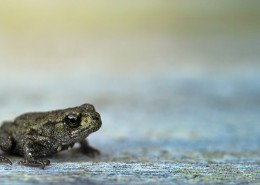 不同种类的青蛙图片(14张)