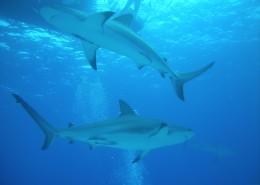 海洋中的鲨鱼图片(10张)
