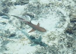 大海里的鲨鱼图片(10张)