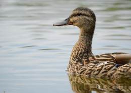 水里的鸭子图片(10张)