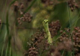 浑身绿色的螳螂图片(10张)