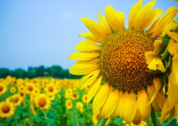 金色的向日葵花海图片(13张)
