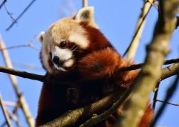 呆萌的小熊猫图片(11张)