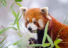 活泼可爱的小熊猫图片(15张)