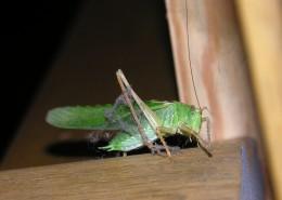 一只绿色的蚱蜢图片(10张)