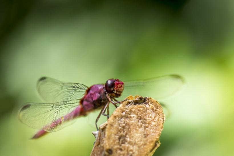 荷塘蜻蜓图片(6张)