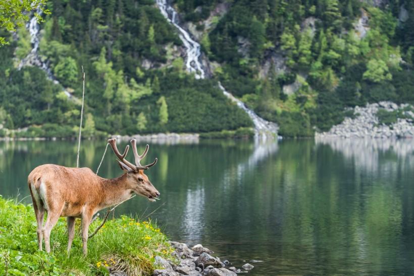 树林草地上的梅花鹿麋鹿图片(15张)