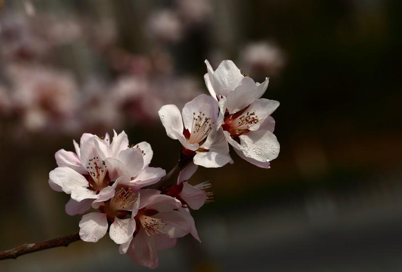 山桃花图片(22张)