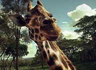 非洲草原上:长颈鹿