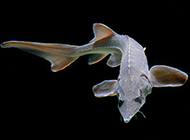 人工养殖的中华鲟鱼图片