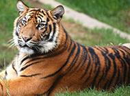 霸气外露的老虎写真壁纸