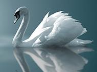 白天鹅图片唯美优雅姿态