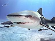 凶猛大鲨鱼牙齿锋利图片