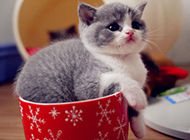 可爱的茶杯猫萌宠图片大全