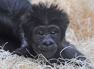 可爱大猩猩图片搞怪逗人