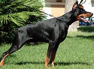 最凶猛的狗杜宾犬图片大全