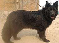 比利时黑熊犬帅气特写图片