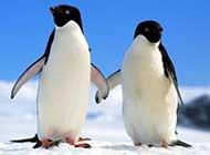 摇摇摆摆的企鹅摄影组图