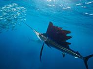 凶猛大西洋旗鱼的图片