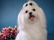 优雅可爱的纯种马尔济斯犬卖萌图片