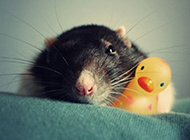 花枝鼠图片撒娇模样可爱有趣
