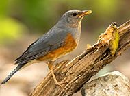中型鸟类动物灰背鸫图片