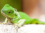 色彩艳丽的冷血动物绿蜥蜴图片