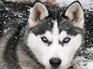 蓝色眼睛的成年雪橇犬图片
