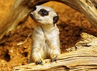 表情搞笑的可爱猫鼬摄影图片