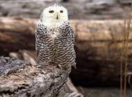羽色非常美丽的雪鸮高清图片