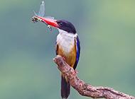 荆棘鸟觅食的图片壁纸