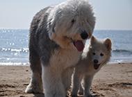 乖巧结实的大型古牧犬图片