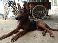 莱州红犬调皮吐舌图片