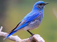北美蓝知更鸟图片萌萌的